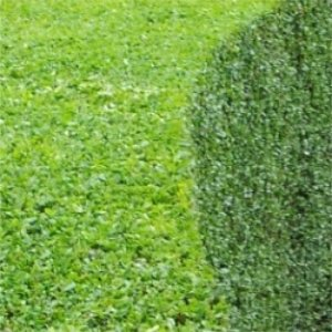 annual garden hedge trimming, hedge maintenance and hedge removal service for your garden