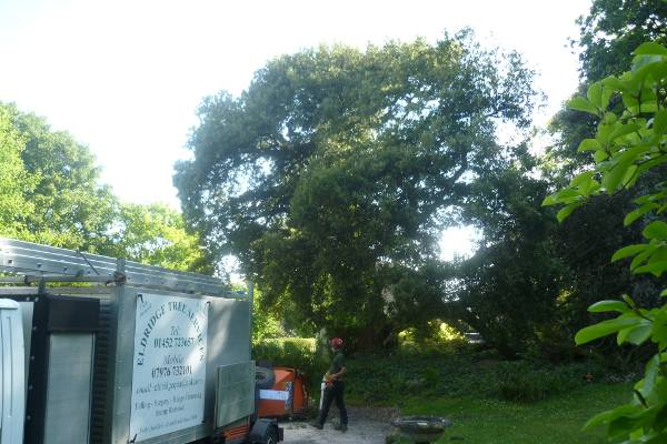This Holm Oak Tree in Stroud need to be cut down due to serious decay at it's base