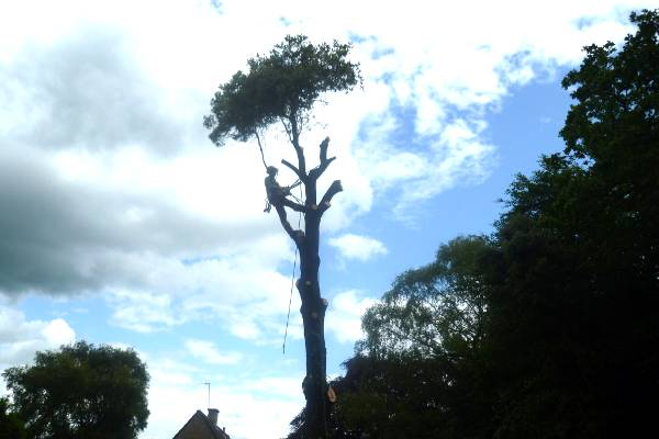 Eldridge garden tree works sectionally removed the holm oak tree