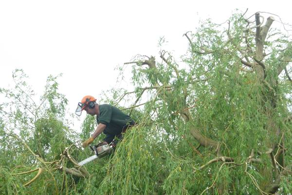Eldridge garden Tree services perform annual pruning on this willow tree