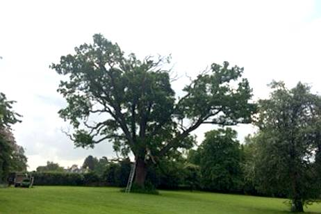 This garden oak tree was dropping branches and needed our tree reduction services