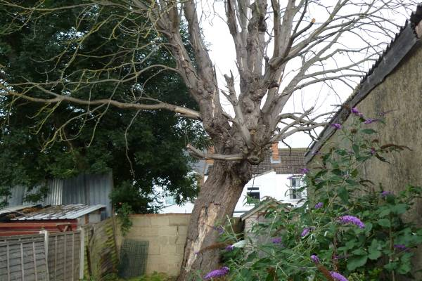 Eldridge tree services were asked to cut down this dead horse chestnut from a house in Gloucester