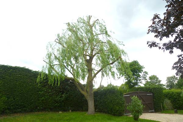 Our tree pruning and tree shaping arboricultural service keep this garden willow looking good every year